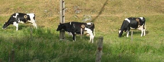 Vache hublot
