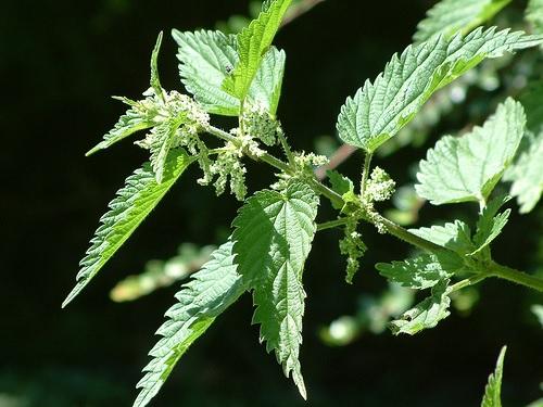 Les pr parations naturelles ne sont plus consid r es comme des pesticides saint andre d - Comment utiliser le purin d ortie ...